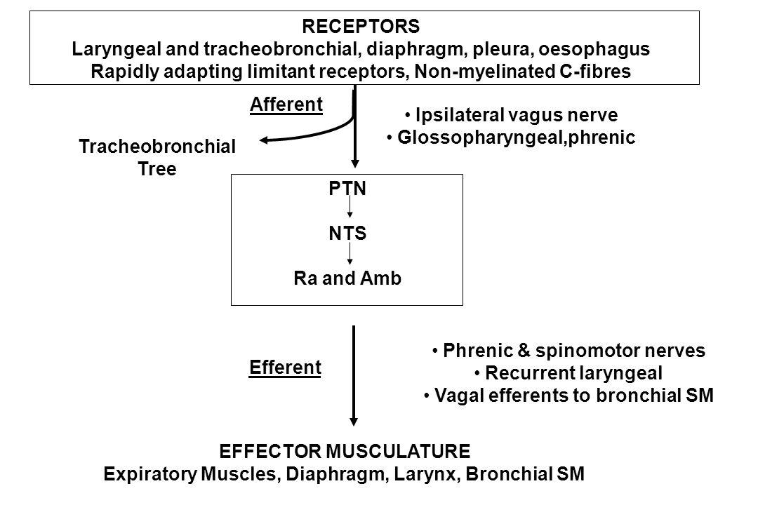 RECEPTORS Laryngeal and tracheobronchial, diaphragm, pleura, oesophagus Rapidly adapting limitant receptors, Non-myelinated C-fibres Afferent Ipsilate