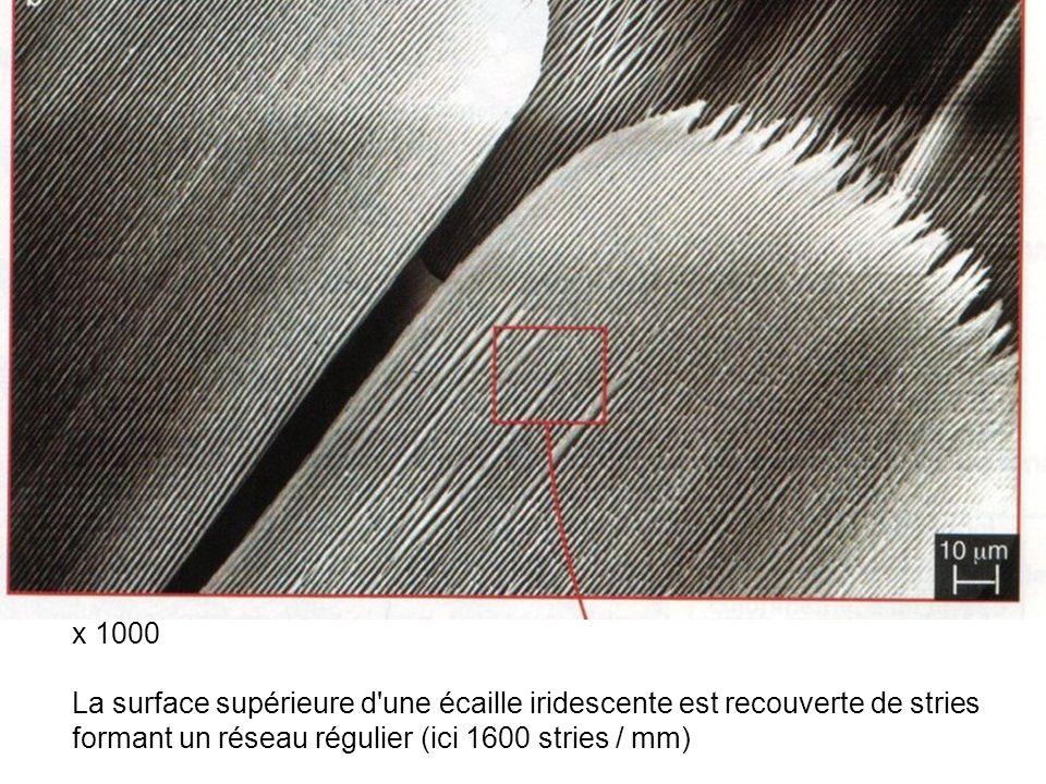 x 1000 La surface supérieure d'une écaille iridescente est recouverte de stries formant un réseau régulier (ici 1600 stries / mm)