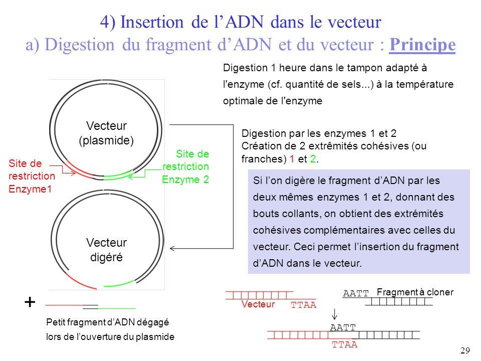 29 Vecteur (plasmide) Vecteur digéré + Petit fragment dADN dégagé lors de louverture du plasmide 4) Insertion de lADN dans le vecteur a) Digestion du