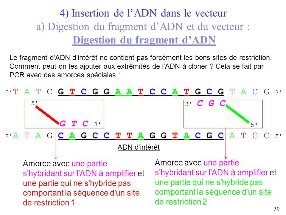 30 5' ADN d'intérêt 4) Insertion de lADN dans le vecteur a) Digestion du fragment dADN et du vecteur : Digestion du fragment dADN Le fragment dADN din