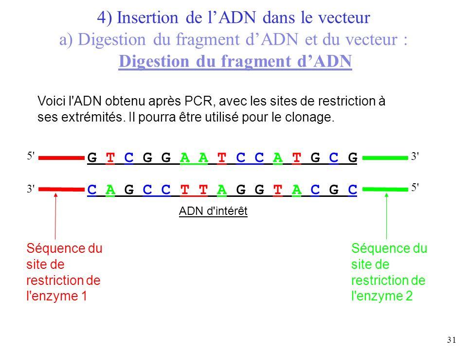 31 G T C G G A A T C C A T G C G C A G C C T T A G G T A C G C ADN d'intérêt 5' 3' Voici l'ADN obtenu après PCR, avec les sites de restriction à ses e