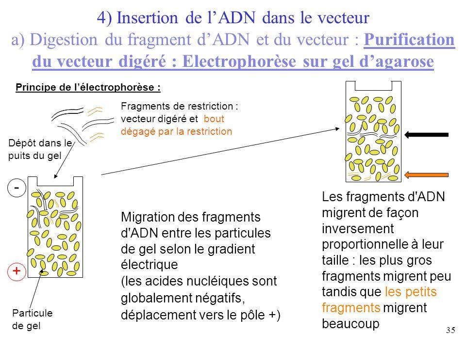 35 Fragments de restriction : vecteur digéré et bout dégagé par la restriction Dépôt dans le puits du gel - + Particule de gel Migration des fragments
