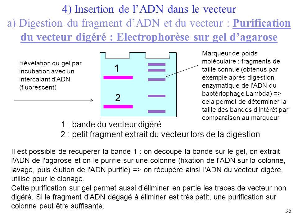 36 Révélation du gel par incubation avec un intercalant d'ADN (fluorescent) 1 1 : bande du vecteur digéré 2 : petit fragment extrait du vecteur lors d