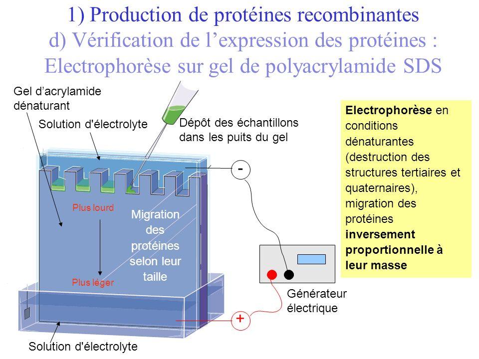 + Générateur électrique Solution d'électrolyte Gel dacrylamide dénaturant Dépôt des échantillons dans les puits du gel - Migration des protéines selon