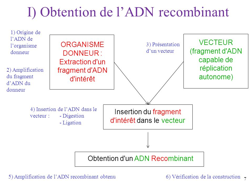 28 GAATTC CTTAAG Exemple : site de restriction de l enzyme EcoRI (provenant de la bactérie Escherichia coli) 5 3 5 G AATTC CTTAA G 5 3 5 3 Coupure par EcoRI Rq : Certains sites de restriction sont des séquences palindromiques 4) Insertion de lADN dans le vecteur a) Digestion du fragment dADN et du vecteur : Exemple dune enzyme de restriction Formation d extrémités dites cohésives, ou bouts collants Rq : Certaines enzymes donnent des bouts francs après coupure.