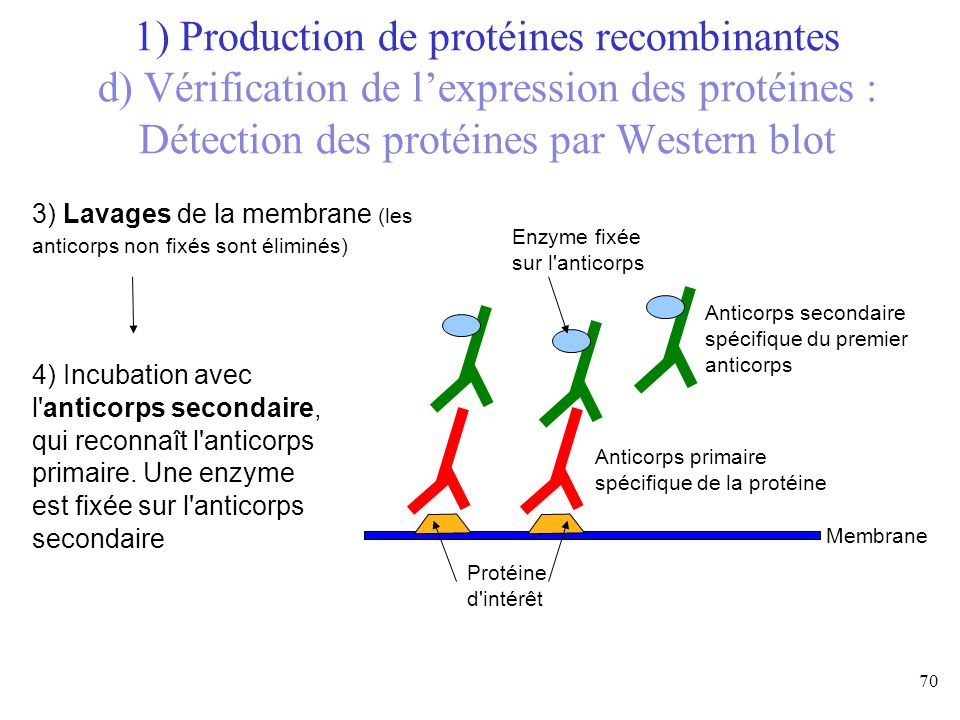 3) Lavages de la membrane (les anticorps non fixés sont éliminés) Membrane Protéine d'intérêt Anticorps primaire spécifique de la protéine 4) Incubati