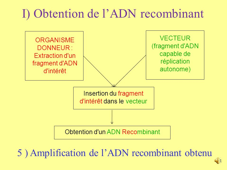 1 I) Obtention de lADN recombinant ORGANISME DONNEUR : Extraction d un fragment d ADN d intérêt VECTEUR (fragment d ADN capable de réplication autonome) Insertion du fragment d intérêt dans le vecteur Obtention d un ADN Recombinant 5 ) Amplification de lADN recombinant obtenu
