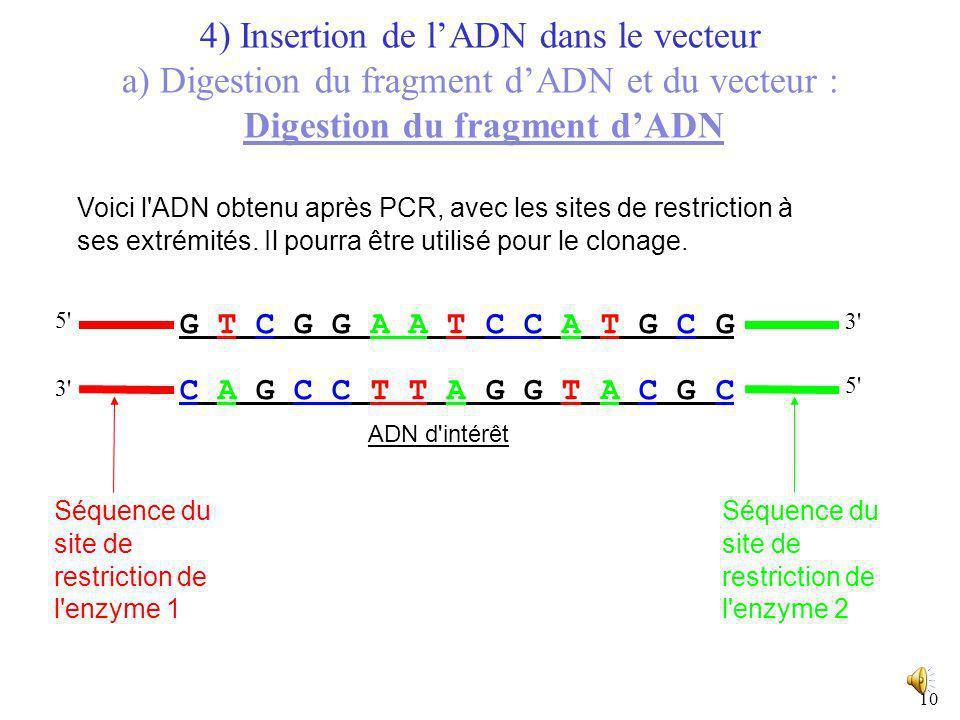 9 5' ADN d'intérêt 4) Insertion de lADN dans le vecteur a) Digestion du fragment dADN et du vecteur : Digestion du fragment dADN Le fragment dADN dint