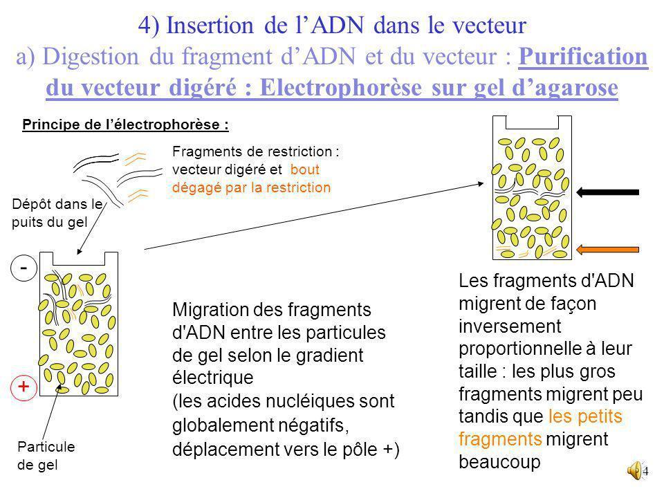 13 Solution d'électrolyte qui recouvre le gel (assure la conduction électrique) Gel d'agarose Les fragments de restriction sont visualisés sur gel d'a