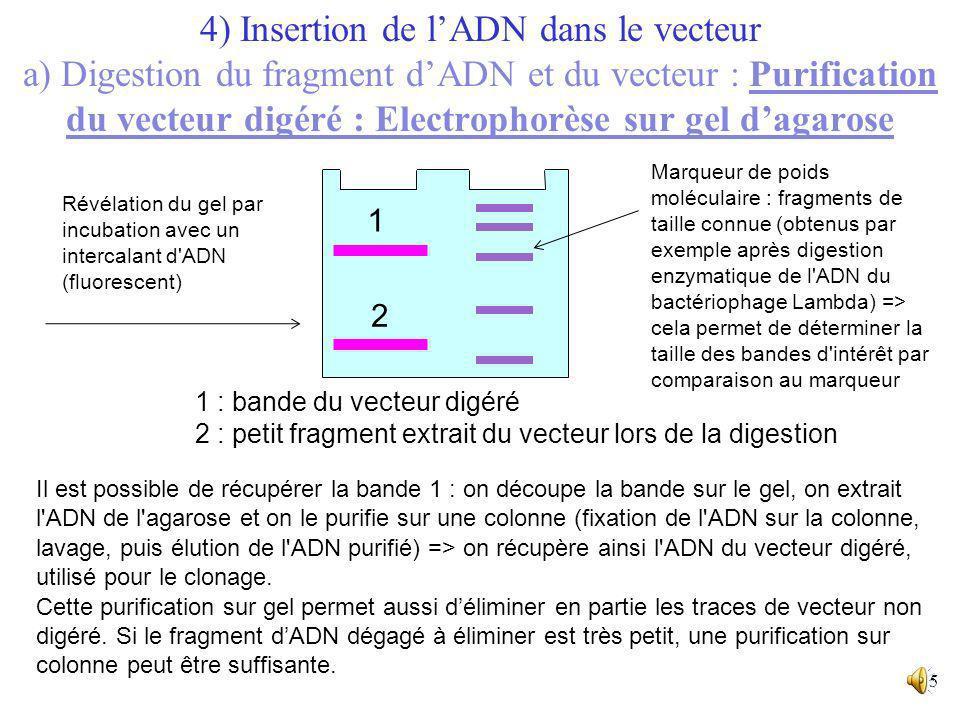 14 Fragments de restriction : vecteur digéré et bout dégagé par la restriction Dépôt dans le puits du gel - + Particule de gel Migration des fragments