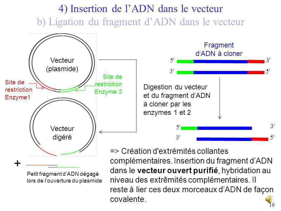 15 Révélation du gel par incubation avec un intercalant d'ADN (fluorescent) 1 1 : bande du vecteur digéré 2 : petit fragment extrait du vecteur lors d