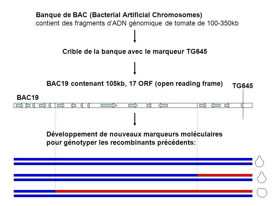 Banque de BAC (Bacterial Artificial Chromosomes) contient des fragments dADN génomique de tomate de 100-350kb Crible de la banque avec le marqueur TG645 BAC19 contenant 105kb, 17 ORF (open reading frame) Développement de nouveaux marqueurs moléculaires pour génotyper les recombinants précédents: BAC19 TG645