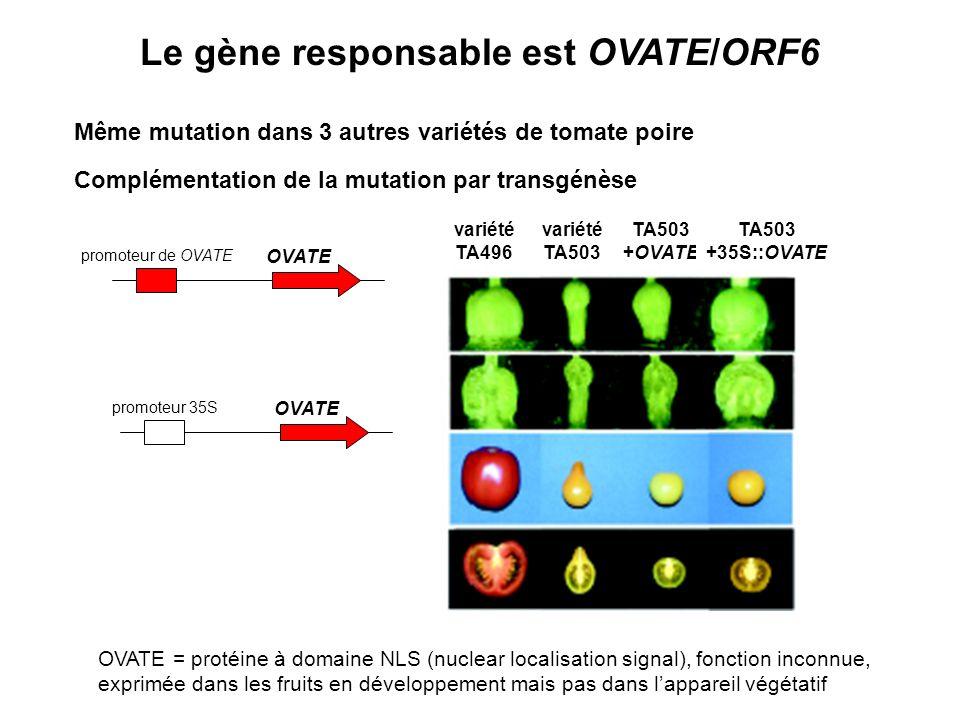 Le gène responsable est OVATE/ORF6 Même mutation dans 3 autres variétés de tomate poire Complémentation de la mutation par transgénèse OVATE promoteur de OVATE OVATE promoteur 35S variété TA496 variété TA503 +OVATE TA503 +35S::OVATE OVATE = protéine à domaine NLS (nuclear localisation signal), fonction inconnue, exprimée dans les fruits en développement mais pas dans lappareil végétatif