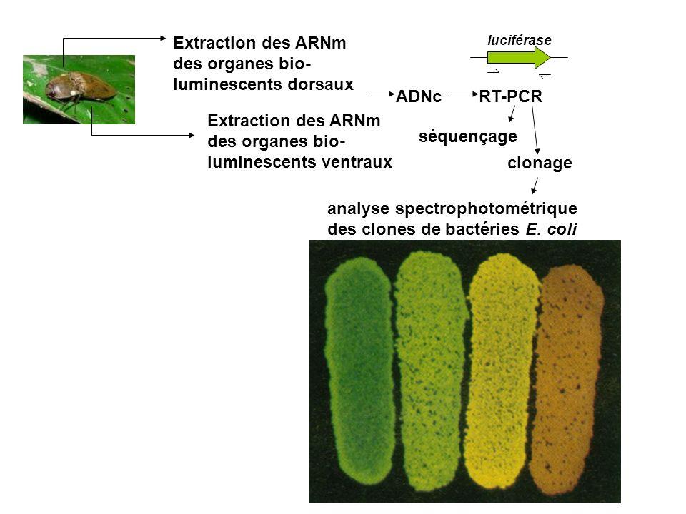 Extraction des ARNm des organes bio- luminescents ventraux Extraction des ARNm des organes bio- luminescents dorsaux ADNcRT-PCR séquençage clonage analyse spectrophotométrique des clones de bactéries E.
