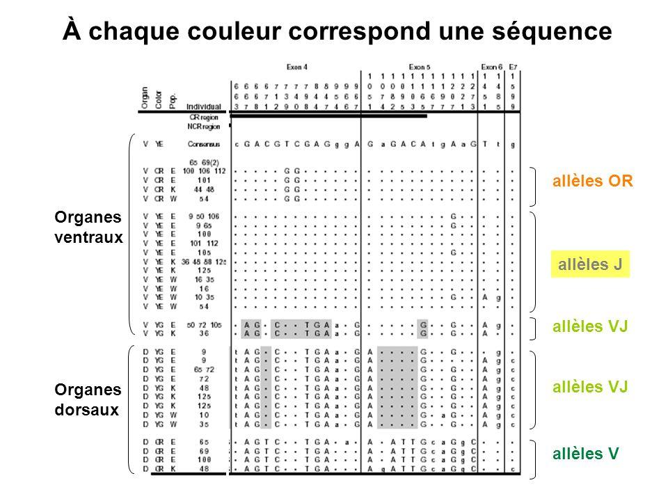 À chaque couleur correspond une séquence allèles VJ allèles OR allèles V Organes ventraux Organes dorsaux allèles J allèles VJ