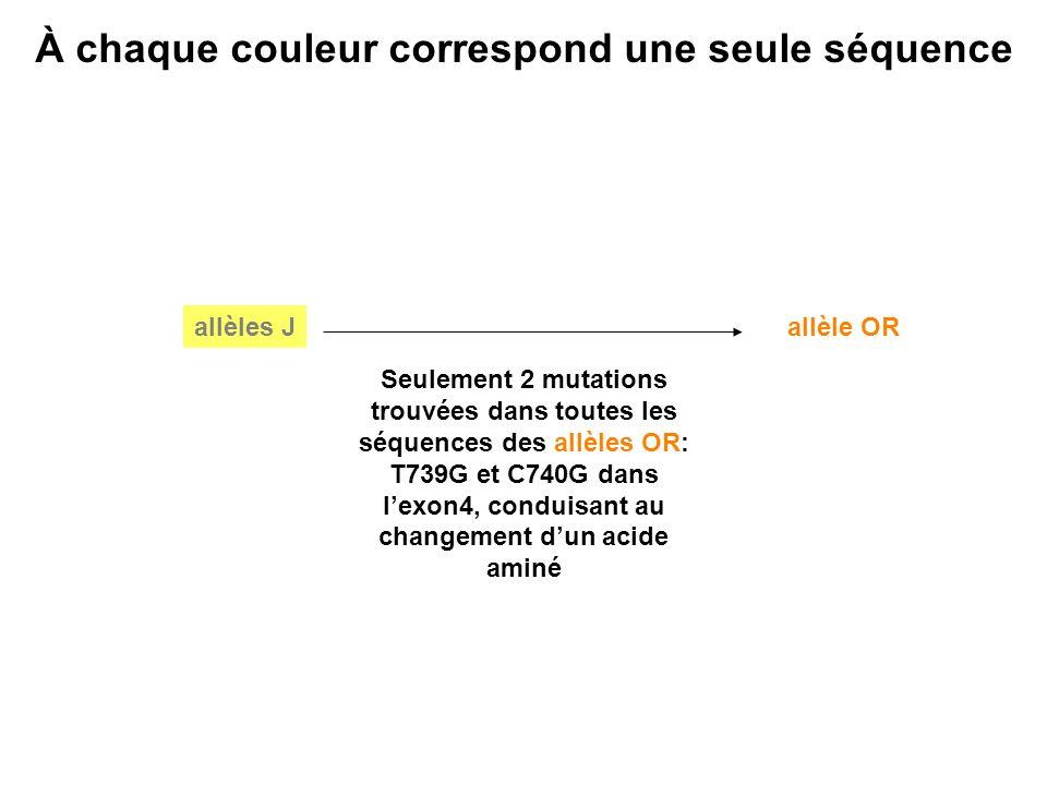 À chaque couleur correspond une seule séquence allèle OR Seulement 2 mutations trouvées dans toutes les séquences des allèles OR: T739G et C740G dans lexon4, conduisant au changement dun acide aminé allèles J