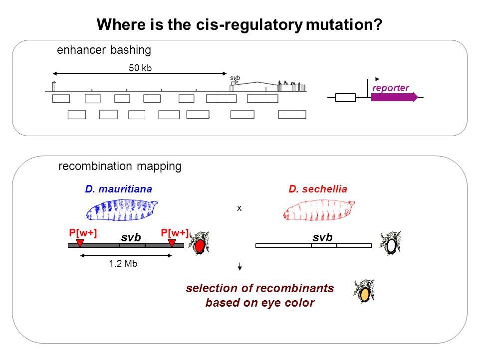 Where is the cis-regulatory mutation.D.
