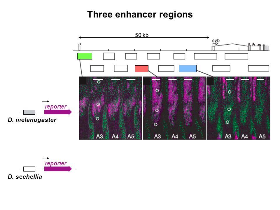 Three enhancer regions 50 kb reporter D. melanogaster reporter D. sechellia