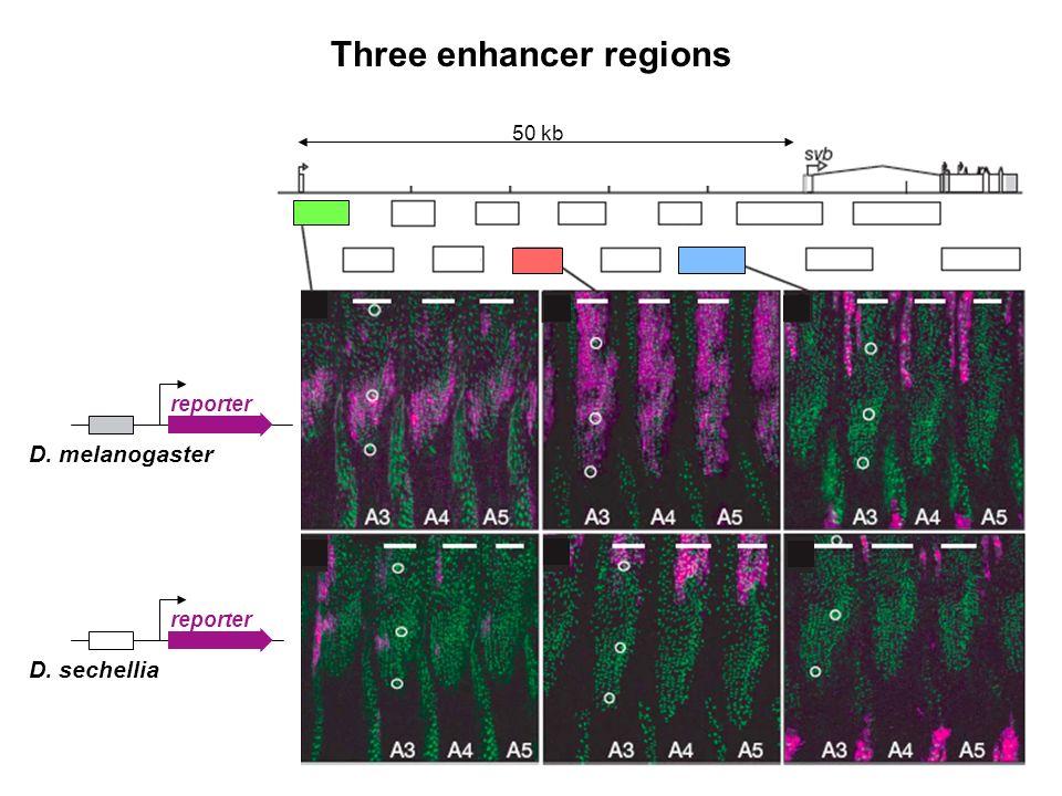 Three enhancer regions 50 kb reporter D. sechellia reporter D. melanogaster