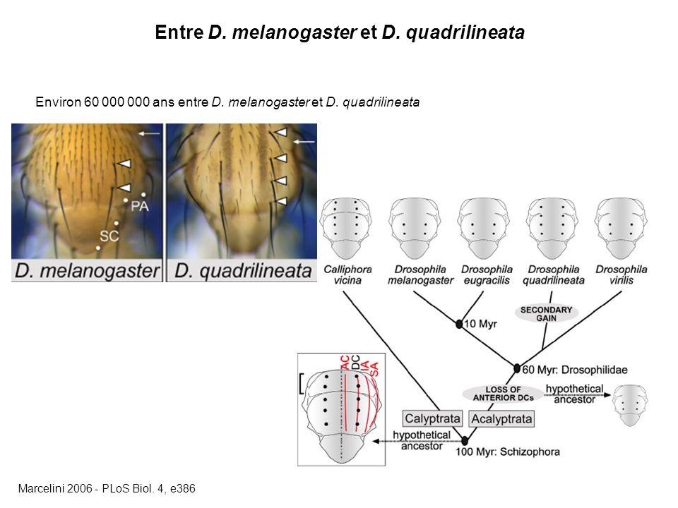 Entre D.melanogaster et D. quadrilineata Environ 60 000 000 ans entre D.