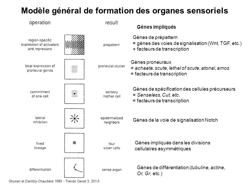 Modèle général de formation des organes sensoriels Ghysen et Dambly-Chaudière 1989 - Trends Genet 5, 251-5 Gènes proneuraux = achaete, scute, lethal of scute, atonal, amos = facteurs de transcription Gènes de spécification des cellules précurseurs = Senseless, Cut, etc.