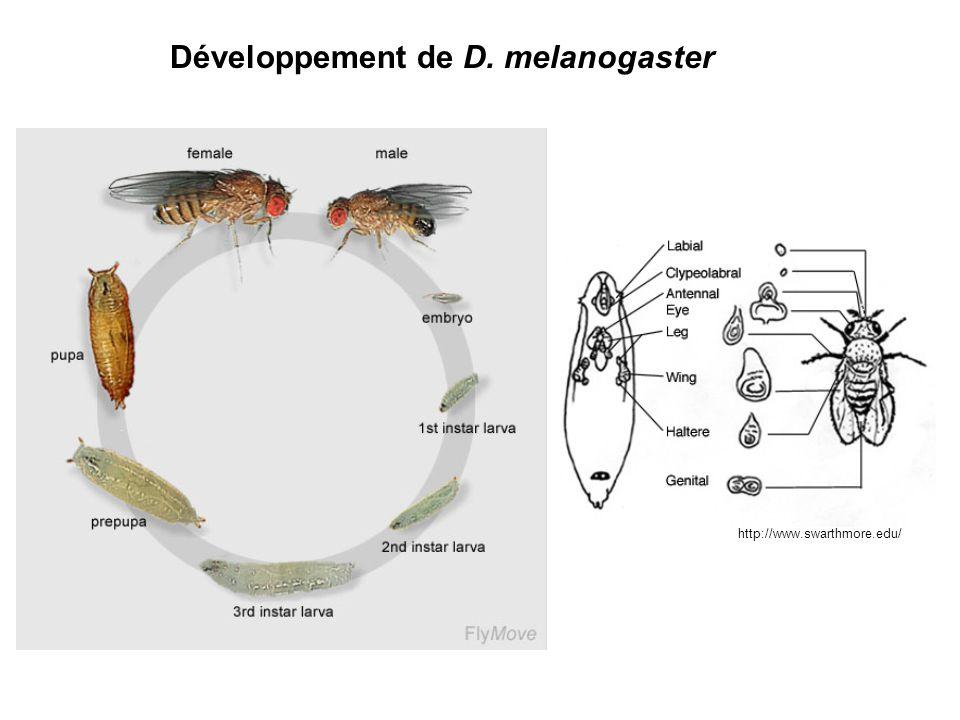 Développement de D. melanogaster http://www.swarthmore.edu/