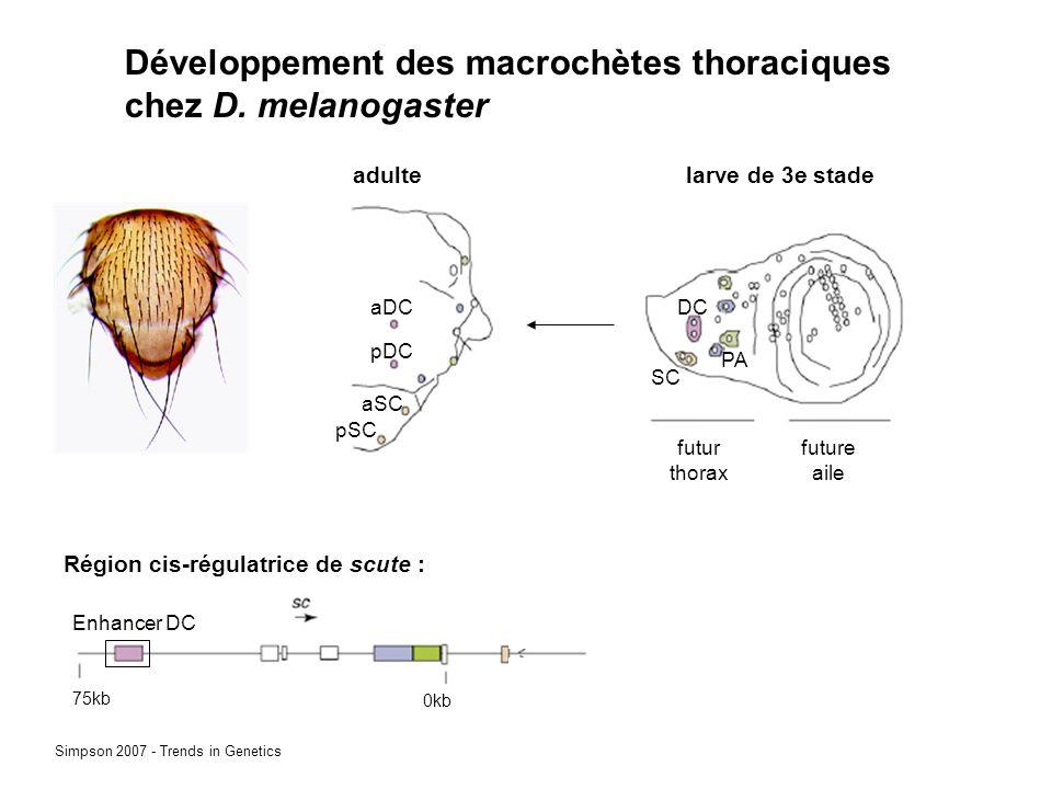 Développement des macrochètes thoraciques chez D.