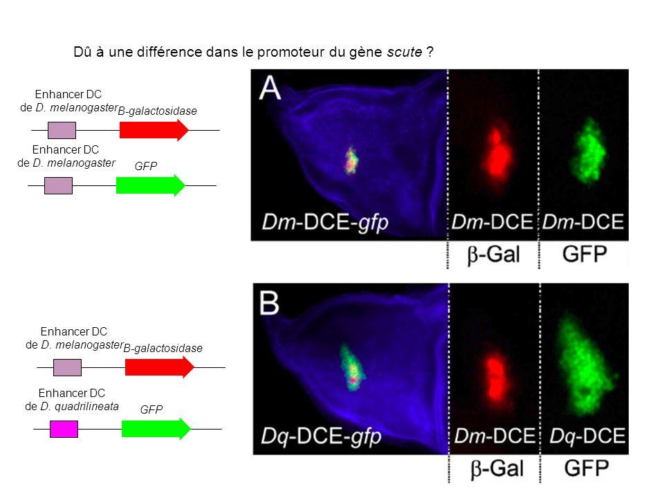 Enhancer DC de D.quadrilineata GFP Enhancer DC de D.