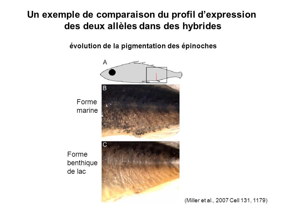 Un exemple de comparaison du profil dexpression des deux allèles dans des hybrides évolution de la pigmentation des épinoches Forme marine Forme benthique de lac (Miller et al., 2007 Cell 131, 1179)