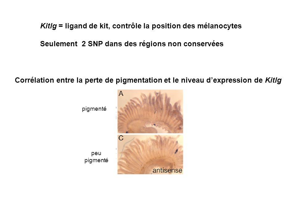 Kitlg = ligand de kit, contrôle la position des mélanocytes Seulement 2 SNP dans des régions non conservées Corrélation entre la perte de pigmentation et le niveau dexpression de Kitlg pigmenté peu pigmenté