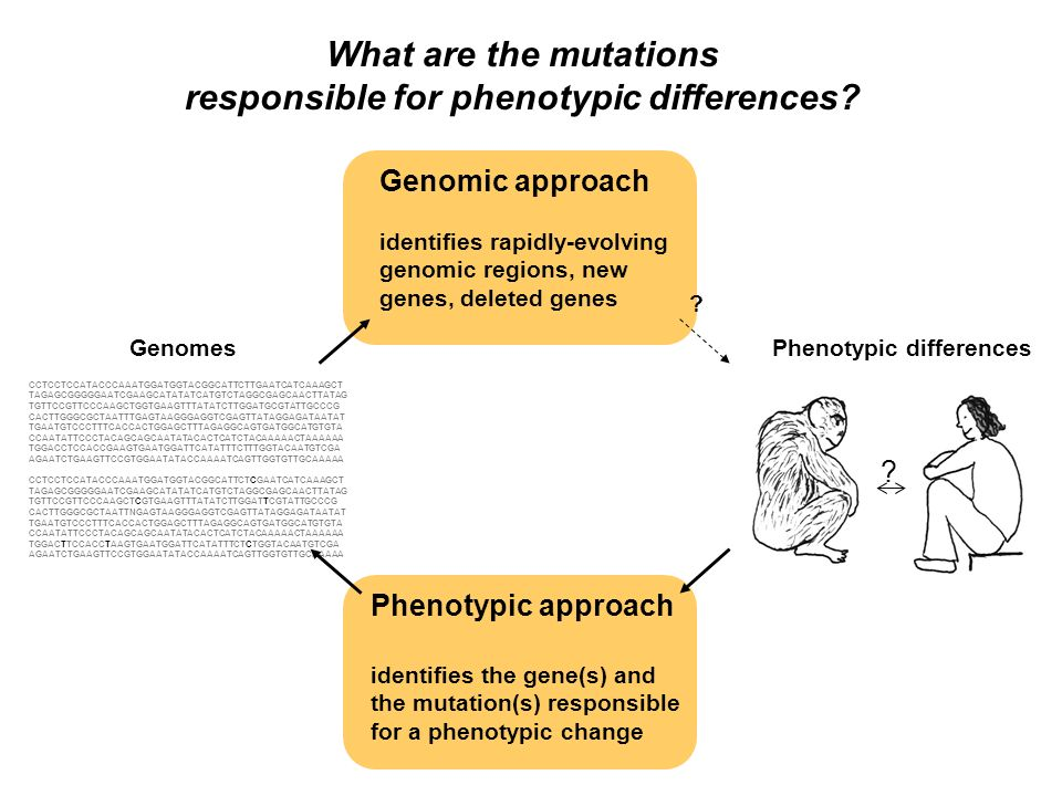 What are the mutations responsible for phenotypic differences.