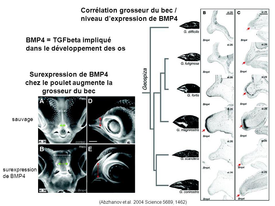BMP4 = TGFbeta impliqué dans le développement des os Corrélation grosseur du bec / niveau dexpression de BMP4 (Abzhanov et al.