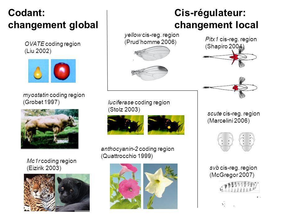 Codant: changement global Cis-régulateur: changement local anthocyanin-2 coding region (Quattrocchio 1999) Pitx1 cis-reg.