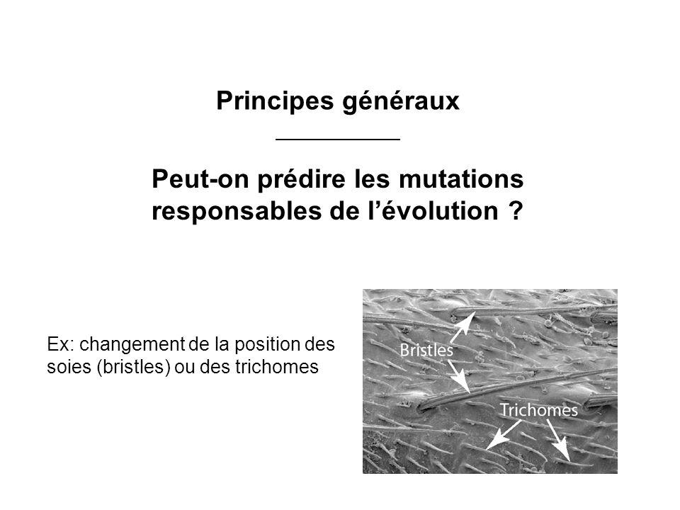 Ex: changement de la position des soies (bristles) ou des trichomes Principes généraux Peut-on prédire les mutations responsables de lévolution ?