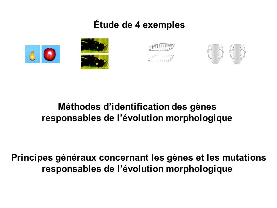 Étude de 4 exemples Méthodes didentification des gènes responsables de lévolution morphologique Principes généraux concernant les gènes et les mutations responsables de lévolution morphologique