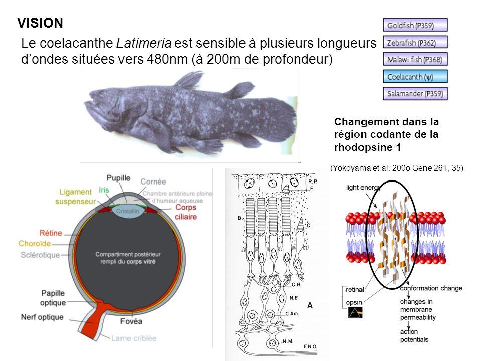 VISION Le coelacanthe Latimeria est sensible à plusieurs longueurs dondes situées vers 480nm (à 200m de profondeur) Changement dans la région codante de la rhodopsine 1 (Yokoyama et al.