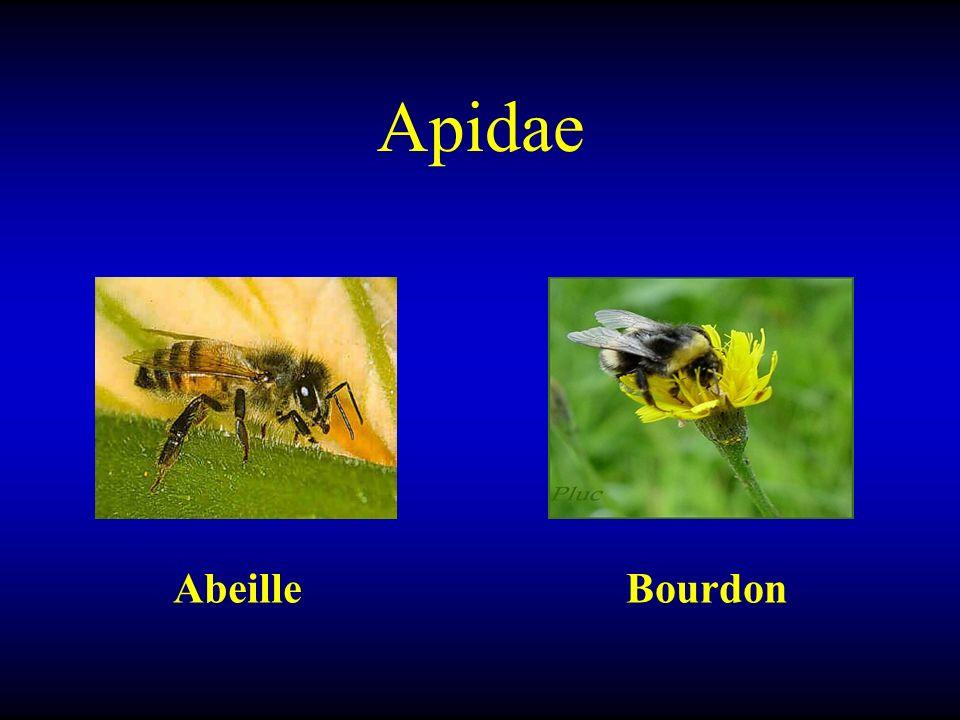 Apidae AbeilleBourdon