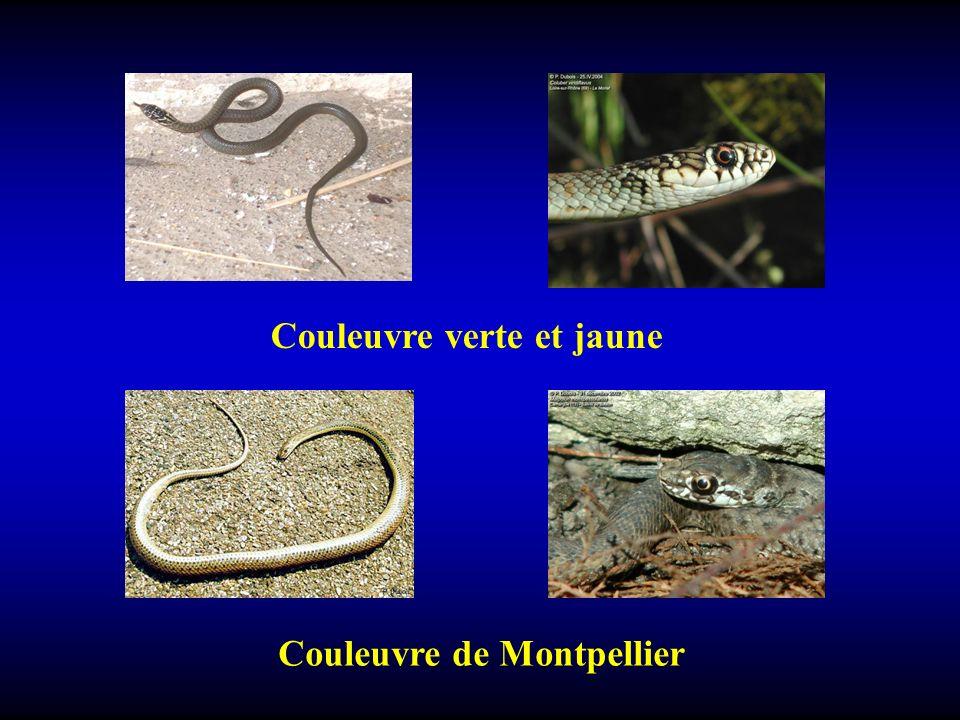Couleuvre verte et jaune Couleuvre de Montpellier