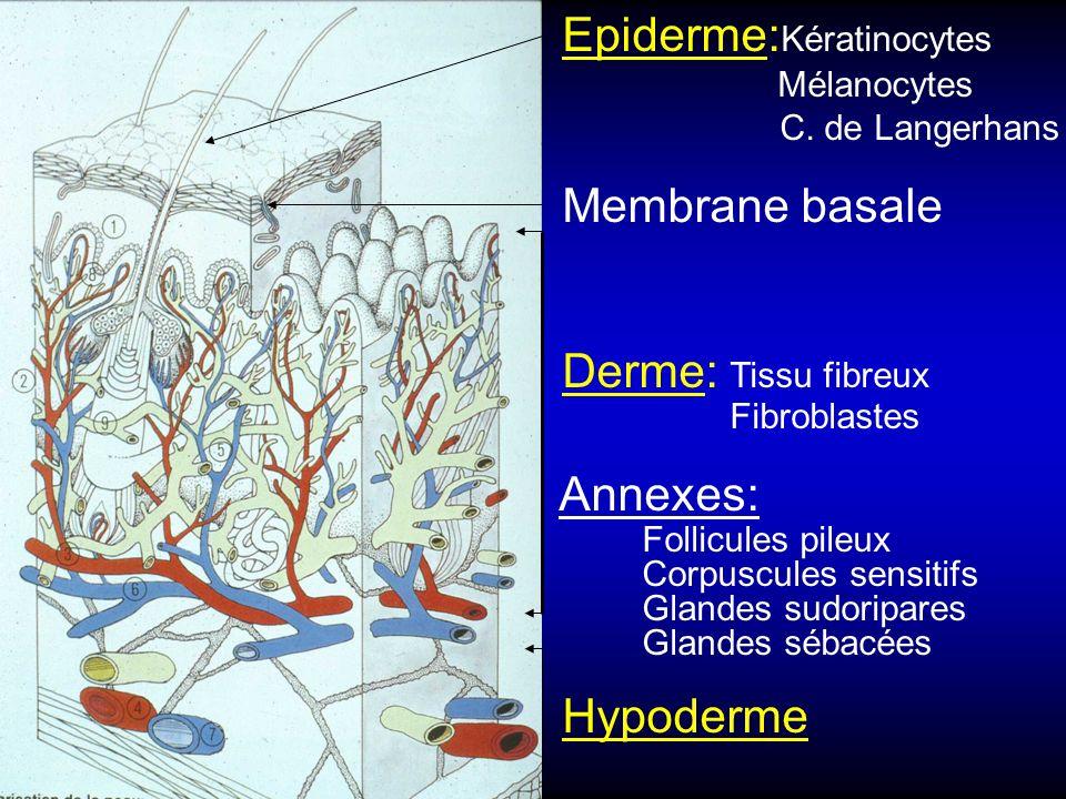 Epiderme: Kératinocytes Mélanocytes C. de Langerhans Membrane basale Derme: Tissu fibreux Fibroblastes Annexes: Follicules pileux Corpuscules sensitif