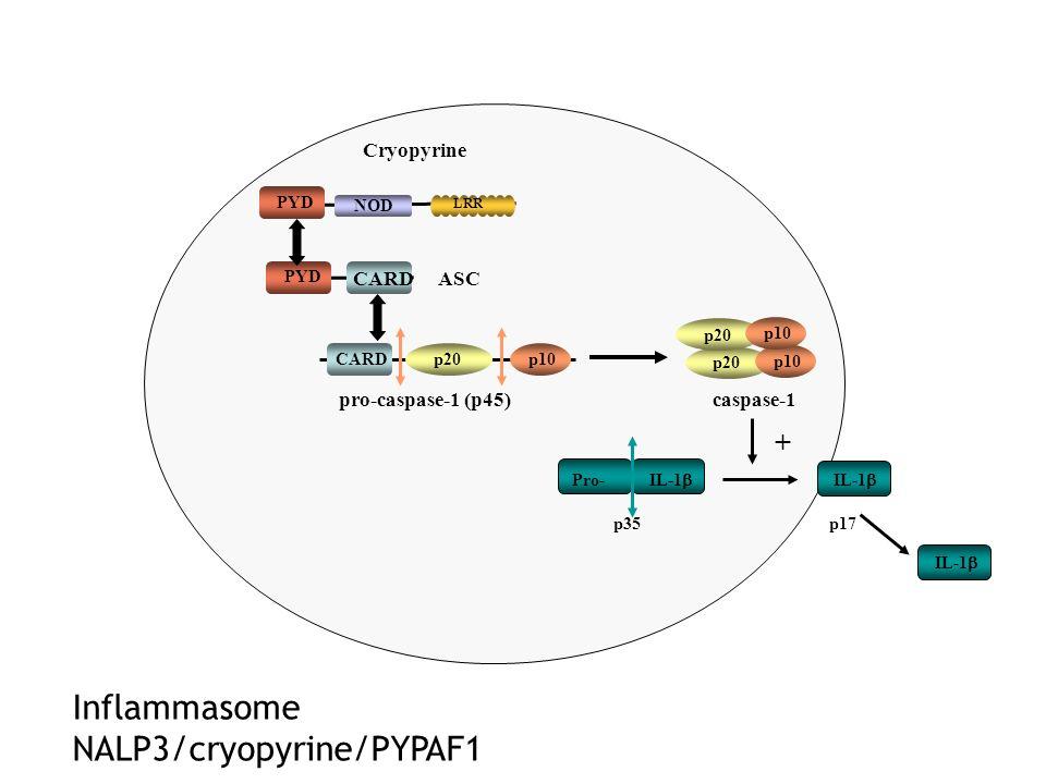 caspase-1 ASC CARD Pro- IL-1 PYD pro-caspase-1 (p45) CARDp20 + p35 p17 p10 p20 p10 Cryopyrine NOD PYD LRR Inflammasome NALP3/cryopyrine/PYPAF1