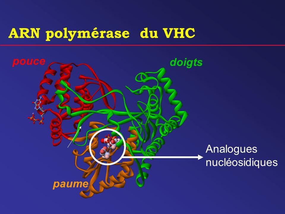 Analogues nucléosidiques pouce paume doigts ARN polymérase du VHC