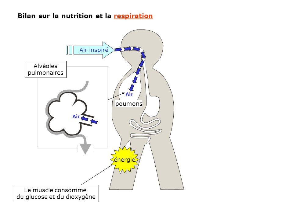 Bilan sur la nutrition et la respiration Le muscle consomme du glucose et du dioxygène énergie Air inspiré Air Alvéoles pulmonaires Air poumons