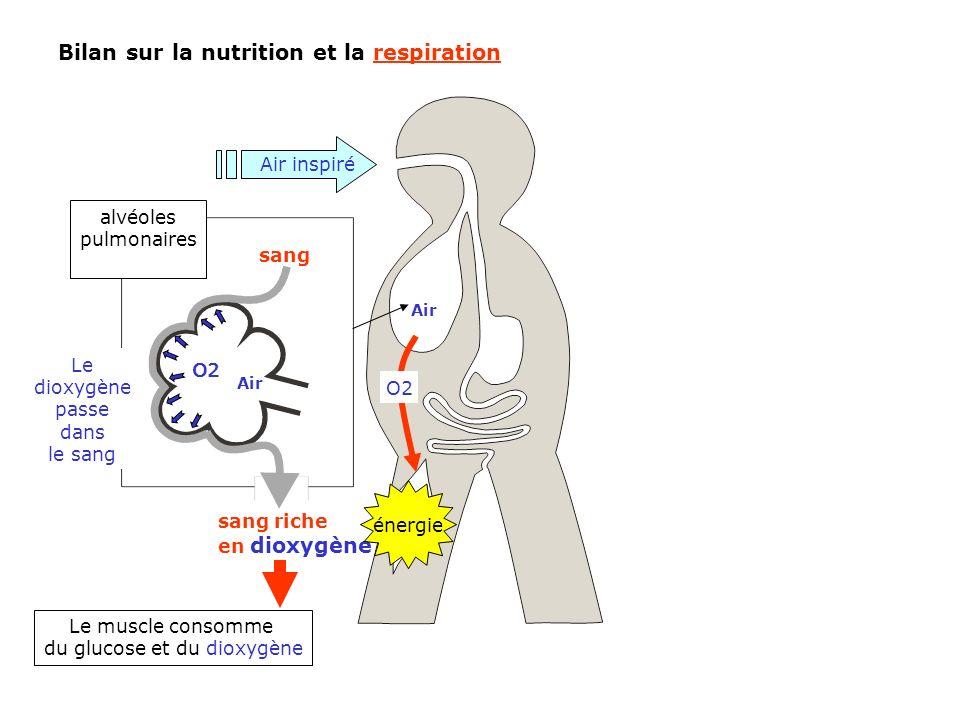 O2 alvéoles pulmonaires Bilan sur la nutrition et la respiration Air sang O2 sang riche en dioxygène Le muscle consomme du glucose et du dioxygène Air