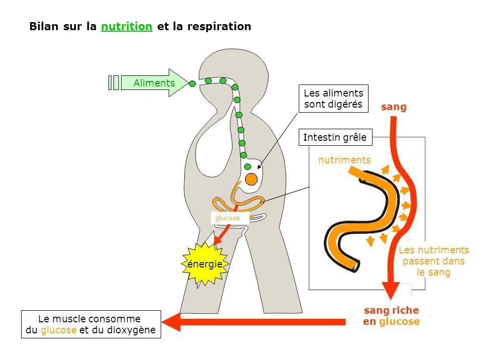 Intestin grêle Bilan sur la nutrition et la respiration énergie Aliments Les aliments sont digérés nutriments sang sang riche en glucose Le muscle con