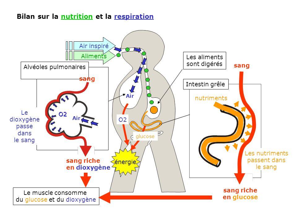 Intestin grêle Bilan sur la nutrition et la respiration Le muscle consomme du glucose et du dioxygène énergie Aliments Les aliments sont digérés nutri