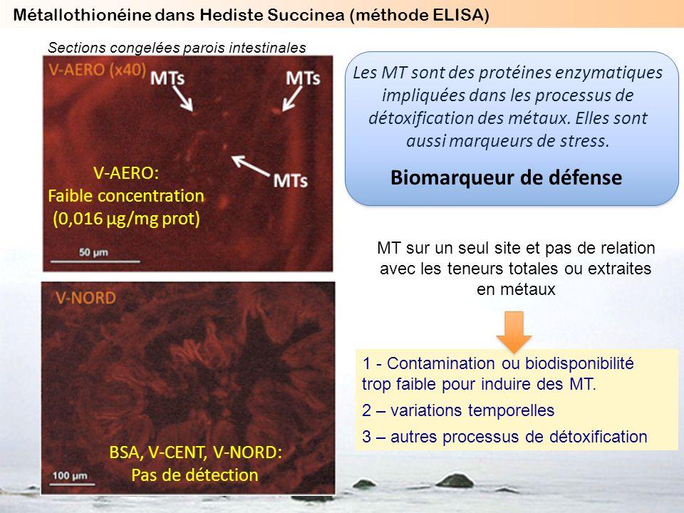 V-AERO: Faible concentration (0,016 µg/mg prot) 1 - Contamination ou biodisponibilité trop faible pour induire des MT. 2 – variations temporelles 3 –