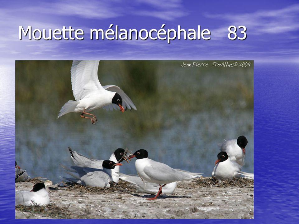 Mouette mélanocéphale83