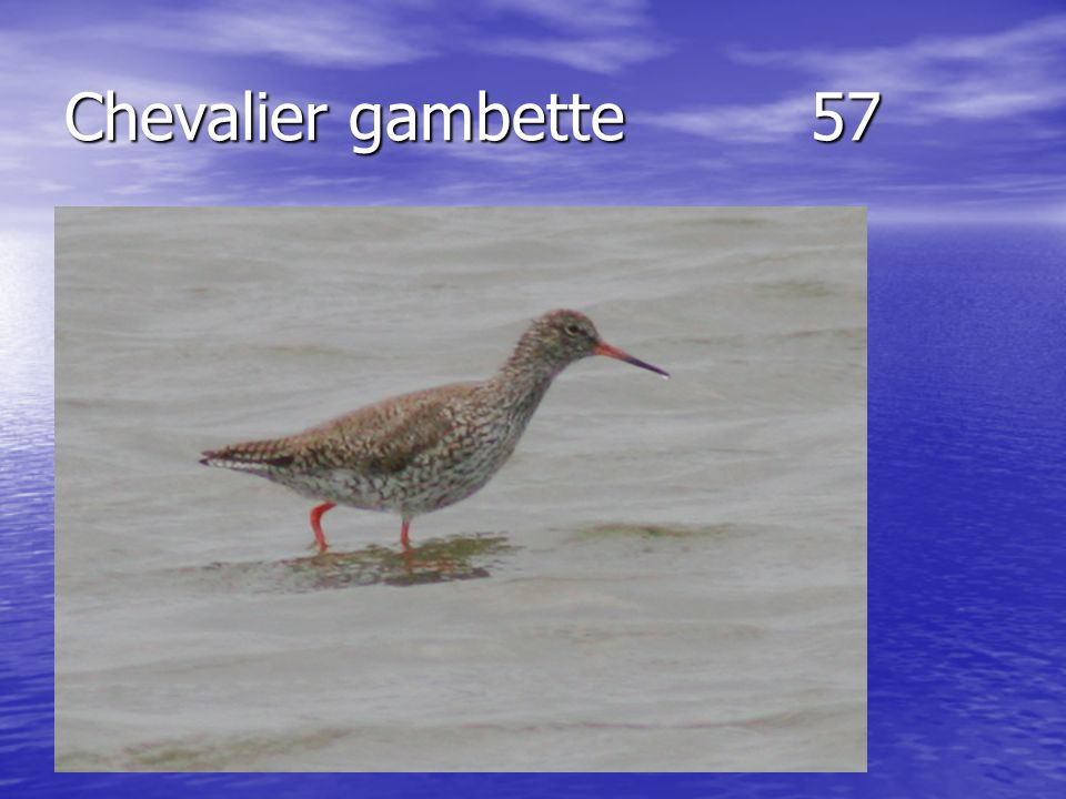 Chevalier gambette57