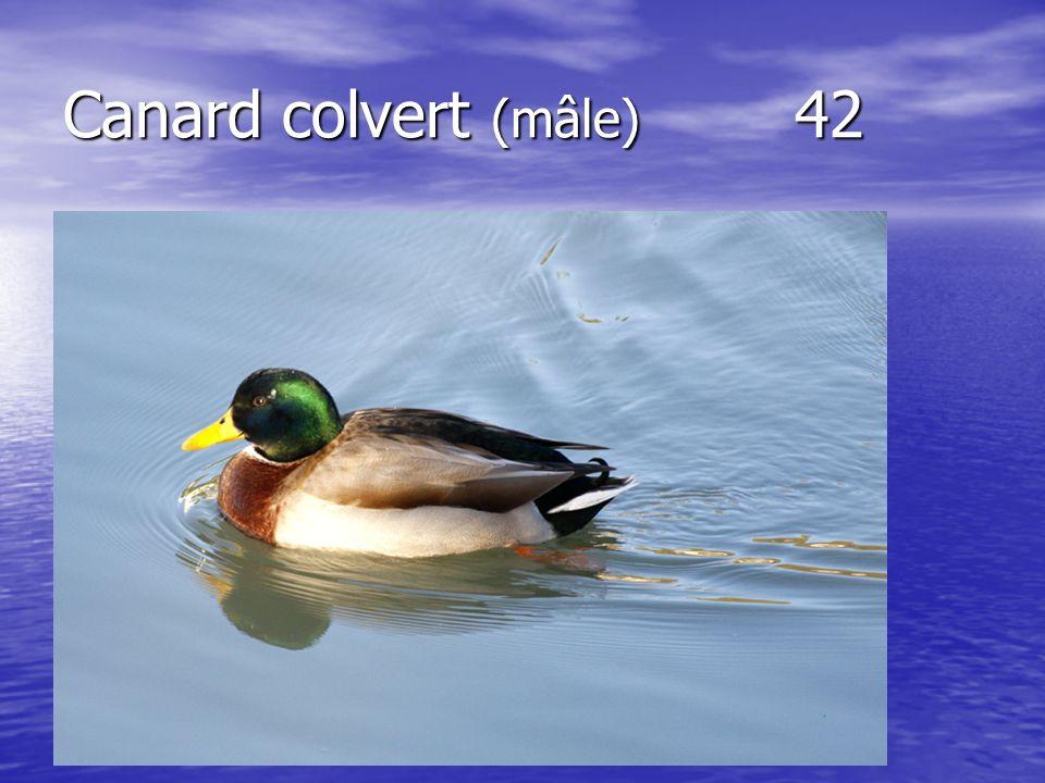 Canard colvert (mâle) 42