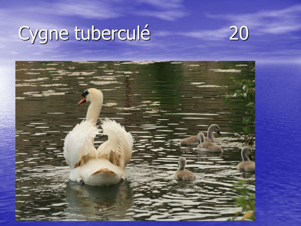 Cygne tuberculé20
